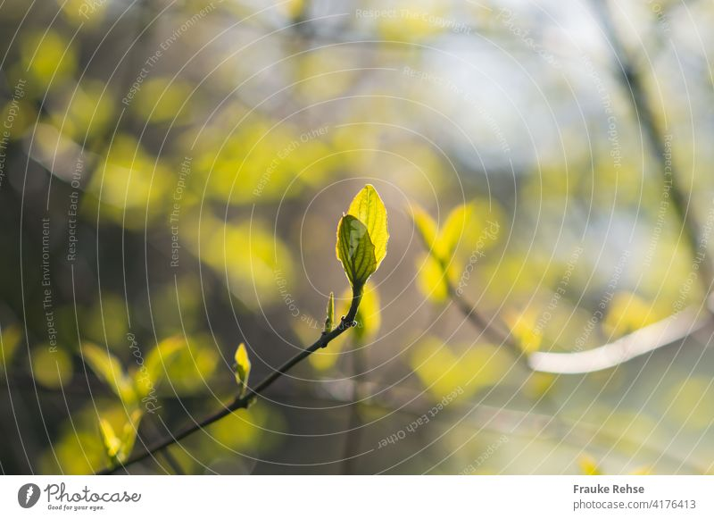 Hellgrünes Blattpaar in der Morgensonne im Frühling neue Blätter hellgrün Blattadern Sonnenlicht frisch Frühjar Natur Wachstum Erneuerung Schwache Tiefenschärfe