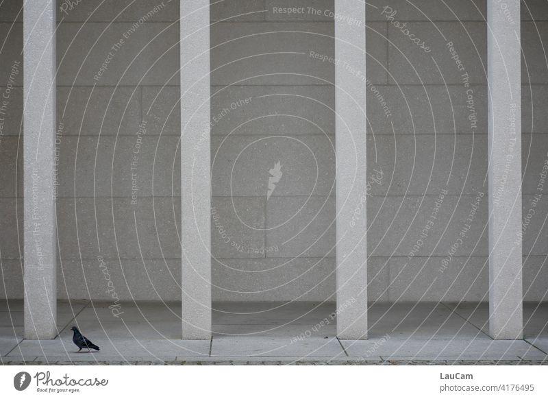 Einsame Taube vor vier Säulen Säulengang james-simon-galerie Beton Architektur Außenaufnahme Stadt Gebäude Fassade Tier Vogel grau Taubenschwänzchen