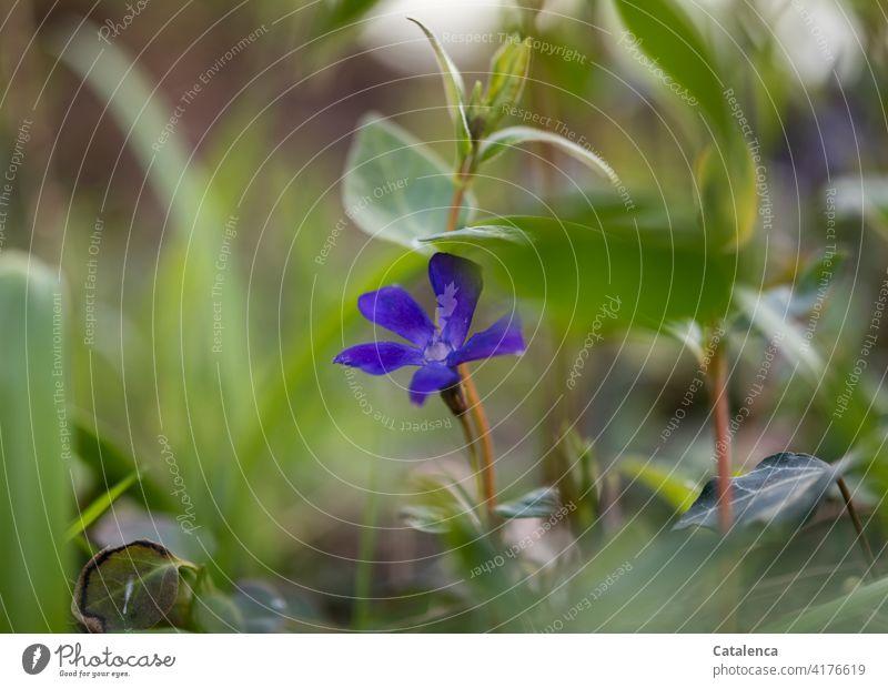 Die blaue Blüte des Kleinen Immergrün im Garten Tageslicht blühen verblühen Stiel Blatt Blume Natur Flora wachsen Blüten Blütenblatt Pflanze Gras Frühling