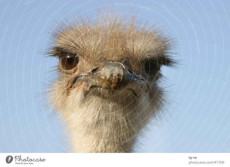 Was guckst Du? Emu Vogel frontal Feder Schnabel Srauss Blumenstrauß blau Auge