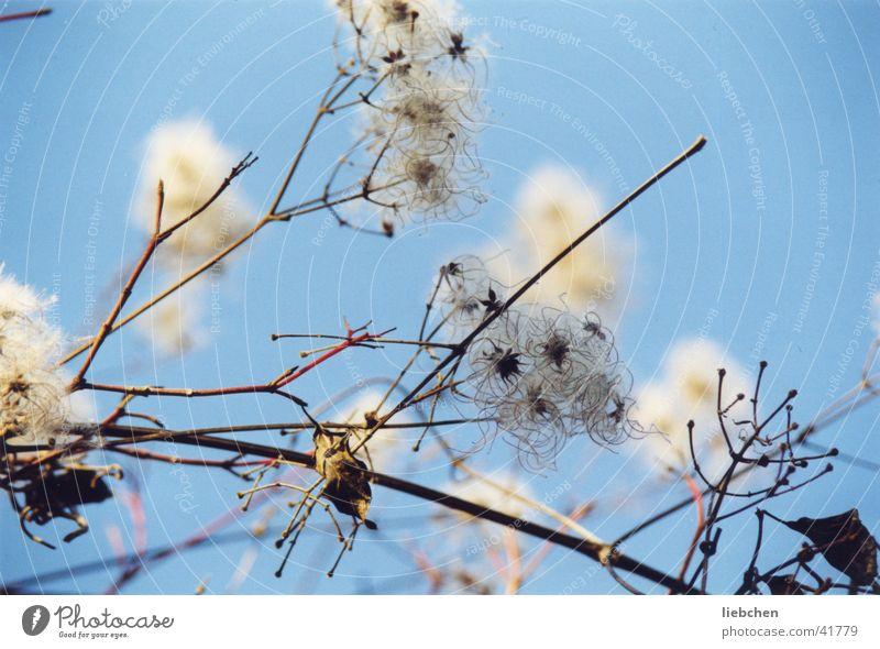 Naturwolle Himmel Blüte Sträucher Zweig