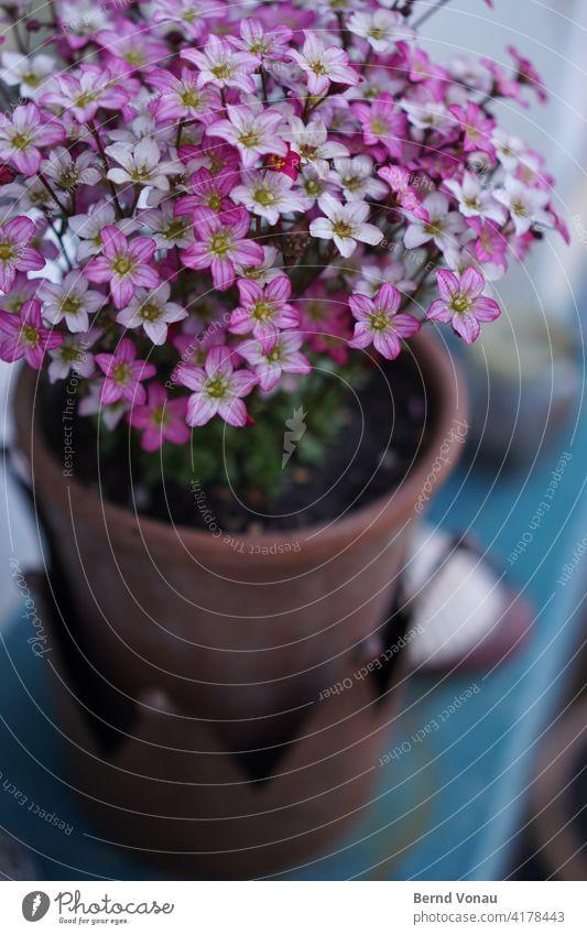 Gartenschmuck Blume schön lila violett zuhause Blüte Frühling Topfpflanze fröhlich Wachstum draußen Farbfoto Schmuck Liebe pflege Bokeh