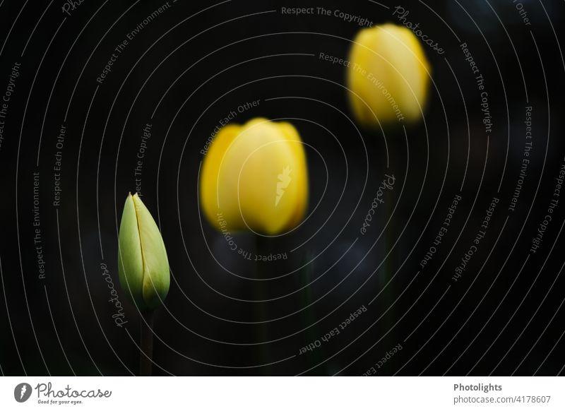 Geschlossene gelbe Tulpen vor dunklem Hintergrund Blatt Menschenleer grün Pflanze Farbfoto Blühend Frühlingsblume Blüte Blume Tulpenblüte Blütenblatt