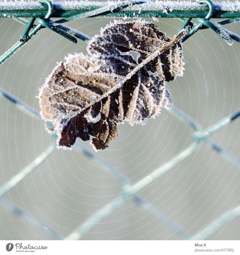 Blatt Winter Wetter Eis Frost Schnee kalt Raureif Garten Gartenzaun Vergänglichkeit Herbstwetter Wintertag Blattadern gefroren Farbfoto Gedeckte Farben