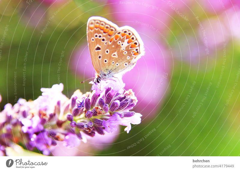 sommer sonne sonnenschein Wärme sommerlich leuchten hell Flieder schmetterlingsflieder pink zart klein hübsch Natur Pflanze Tier Frühling Sommer Blume Blüte