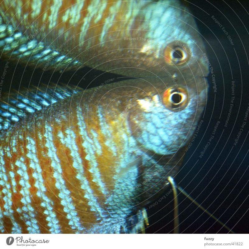Zwergfadenfisch Aquarium Labyrinthfisch