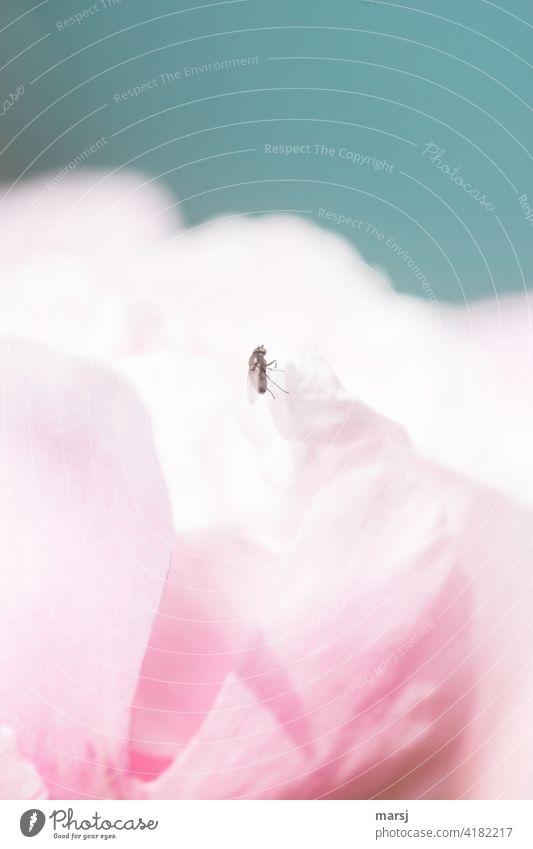 Ich frage mich, ob die Aussicht dort oben besser ist. Eine Fliege auf einem Blütenblatt einer Pfingstrose. Blume natürlich rosa Pflanze elegant geheimnisvoll