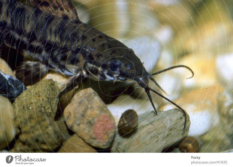 Schwielenwels aquarium ein lizenzfreies stock foto von for Aquarium zierfische