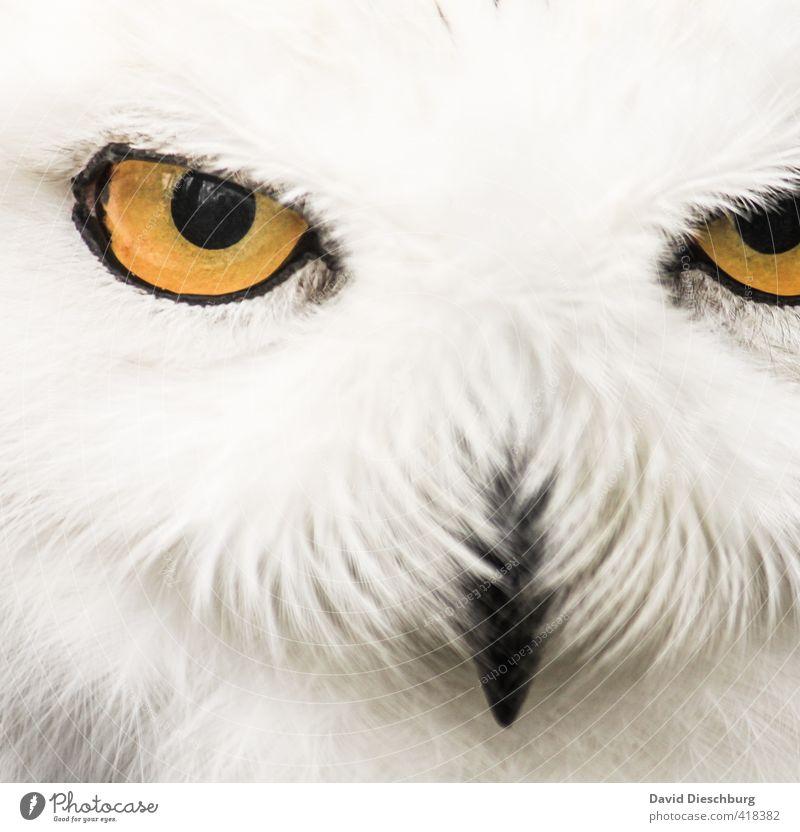 Im Auge des Jägers Wald Wildtier 1 Tier gelb schwarz weiß Schnee-Eule Schnabel Feder Kopf böse fokussieren Appetit & Hunger Reflexion & Spiegelung Blick