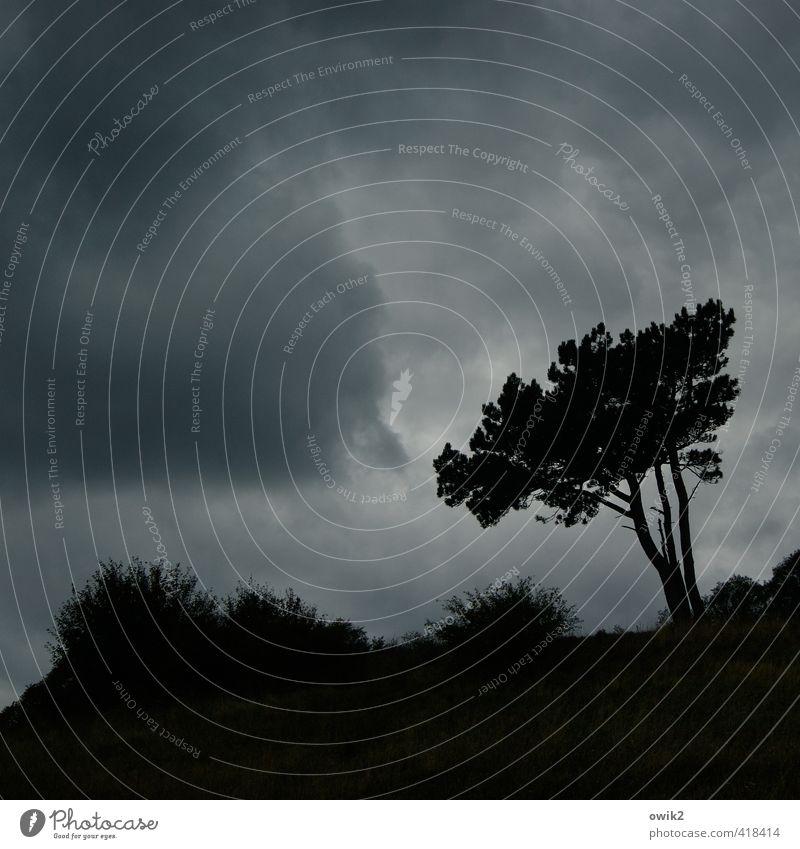 Sturmfrei Umwelt Natur Landschaft Pflanze Urelemente Himmel Wolken Gewitterwolken Klima Wetter Baum Sträucher Windflüchter Dornbusch stehen Wachstum warten
