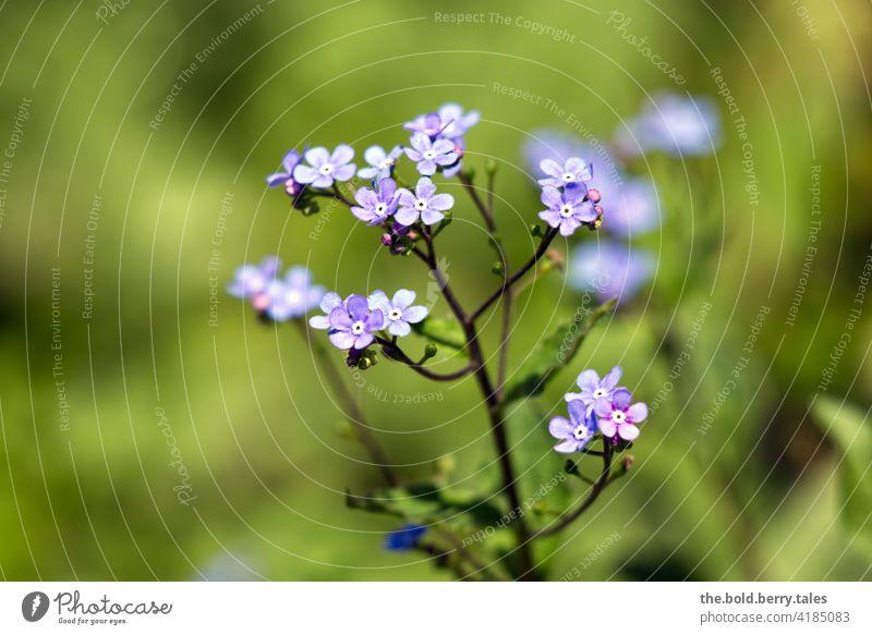 Vergissmeinnicht Vergißmeinnicht Vergißmeinnichtblüte blau Frühling Blume Blüte Pflanze Natur Farbfoto Blühend Schwache Tiefenschärfe Nahaufnahme Außenaufnahme