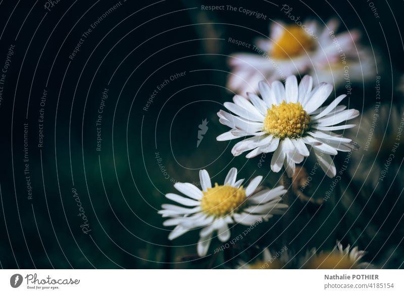 Gänseblümchen Nahaufnahme Margeriten Blume Frühling Sommer Natur weiß geblümt Garten Beautyfotografie frisch gelb Textfreiraum links
