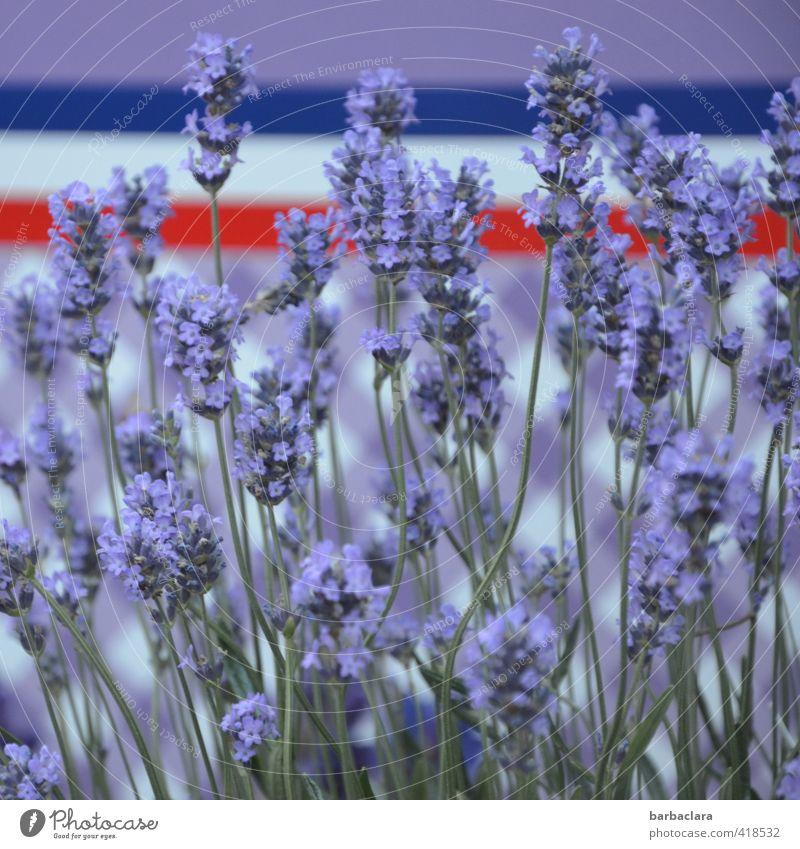 Lavande de la Provence Natur Ferien & Urlaub & Reisen schön Pflanze Farbe Feste & Feiern Linie Design Tourismus frisch Dekoration & Verzierung Fröhlichkeit