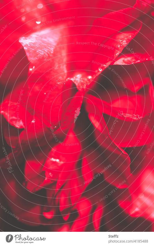 die Rose Rosenblüte rote Rose blühende Rose schöne Rose rote Blüte strahlend rot rote Blume Rosenduft Duft duftend intensiv gefärbt regennass Regentropfen