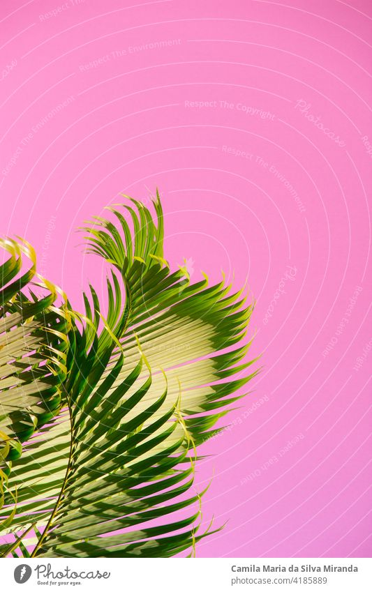 Kokosnussbaum gegen den Himmel ungewöhnliche rosa Farbe. Tropischen Hintergrund Asien Strand hell übersichtlich Klima Küste exotisch fantastisch grün Feiertag
