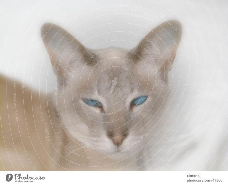 Kimba Tier Katze Thailand