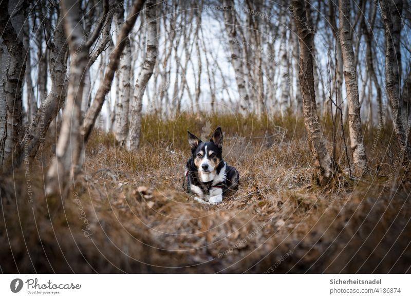 Border Collie im Birkenwald Bordercollie Hund Tierporträt Haustier Außenaufnahme Hundeblick Menschenleer Wald Blick in die Kamera Starke Tiefenschärfe Tierliebe