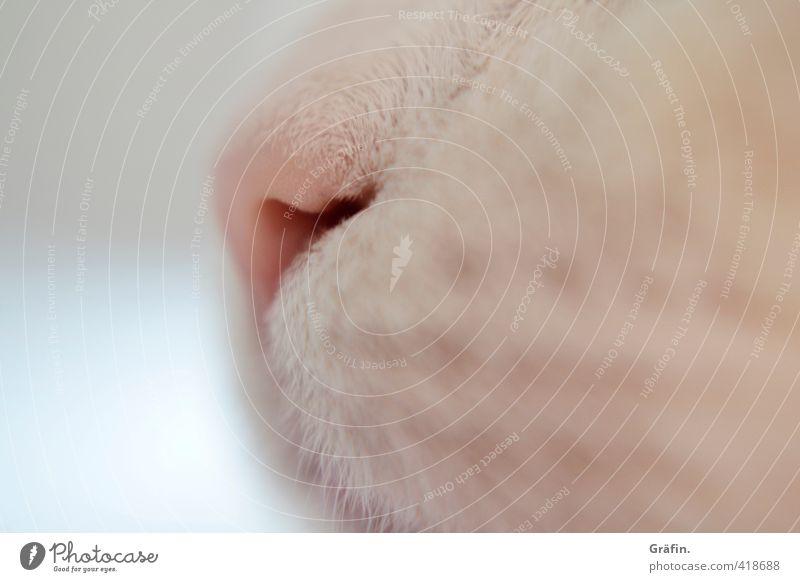 Immer der Nase nach Haustier Katze Tiergesicht 1 atmen kuschlig rosa weiß Tierliebe Gelassenheit geduldig ruhig Schnauze Farbfoto Innenaufnahme Nahaufnahme