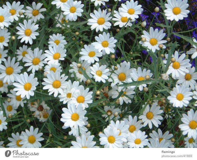 Mageriten Blume Sommer Garten