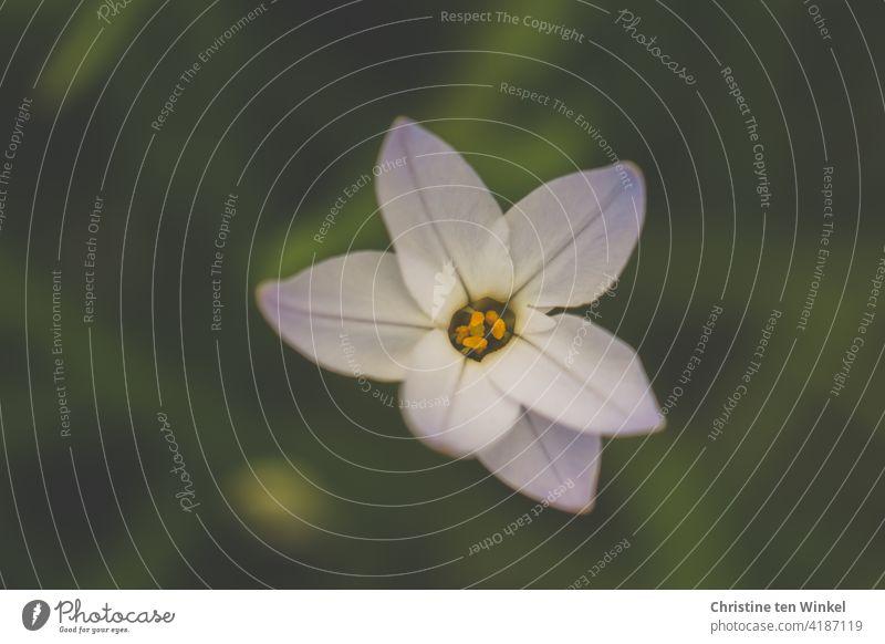 weiße Blüte im Frühling vor grünem Hintergrund Zwiebelblume Frühlingsblüher blühend Pflanze Blume Natur Garten Schwache Tiefenschärfe schön Nahaufnahme