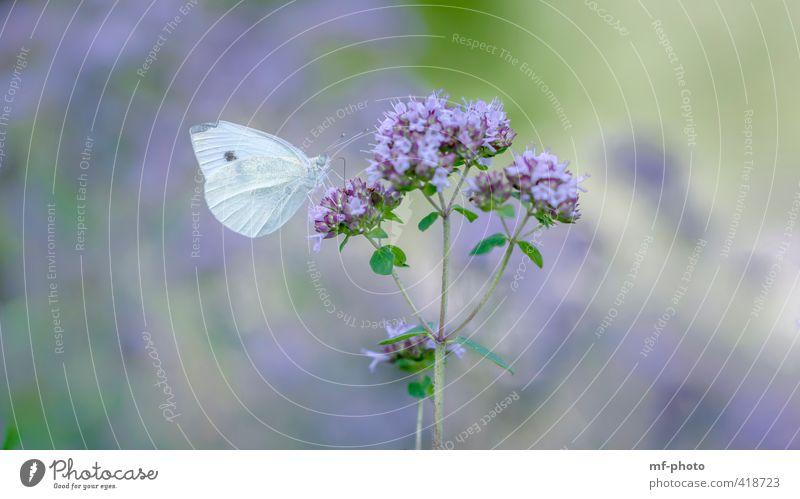 Zitronenfalter Natur blau schön grün weiß Pflanze Sommer Tier Garten violett Schmetterling