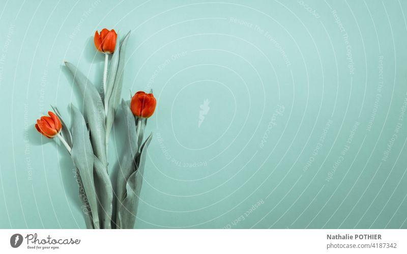 Rote Tulpen auf türkisem Hintergrund Tulpenblüte Blume Frühling Blüte Frühlingsblume Blühend Farbfoto Pflanze grün Menschenleer rosa rot Blumenstrauß