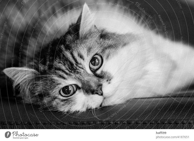 Der Kater blickt in die Kamera Katze Haustier Hauskatze Katzenauge Tiergesicht Katzenkopf niedlich Schnurrhaar Schnauze Auge Neugier Katzenohr kuschlig
