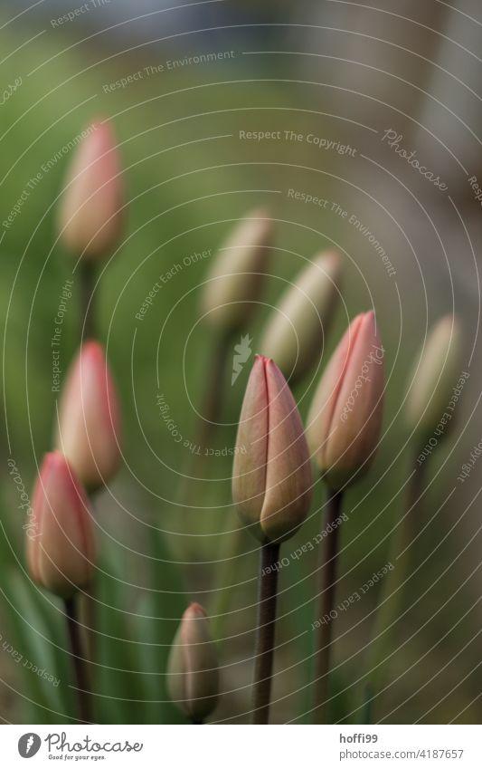 geschlossene Tulpen im Beet Tulpenknospe Tulpenfeld Blume Frühling Tulpenblüte Natur rosa grün wachsen sprießen sanft sanftes licht weiches Licht empfindlich