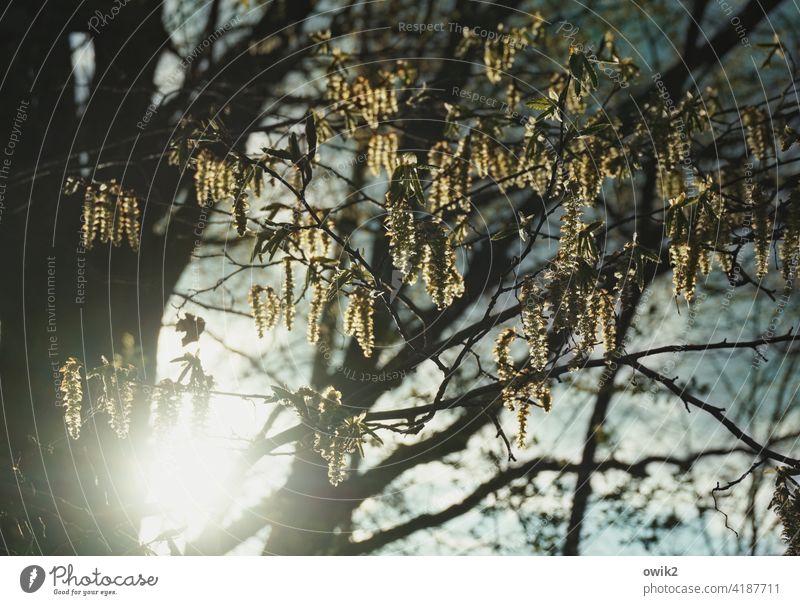 Frühling Umwelt Natur Baum Pflanze Schönes Wetter Zweige u. Äste Gedeckte Farben Farbfoto Detailaufnahme Menschenleer Totale Außenaufnahme Blüte Licht Ast zart