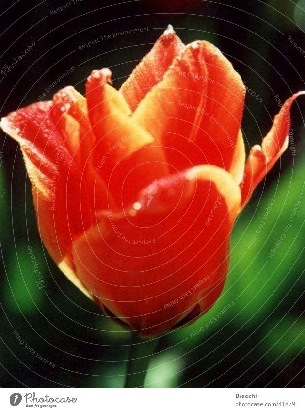 Tulpe Blume Pflanze Blüte