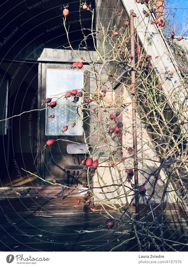 Das alte Sommerhaus mit Rosenstock im Herbst altes Haus Licht Fenster Türen alter Stuhl Pflanze Hagebutten Roséwein Außenaufnahme Blume Gartenhaus Cottage