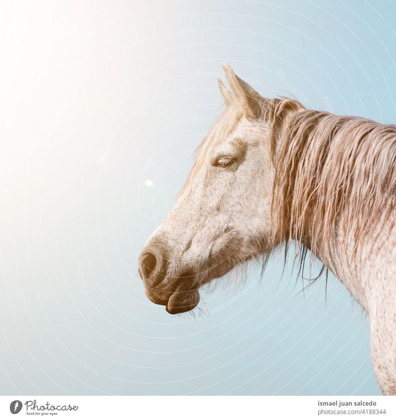 schönes weißes Pferdeporträt Porträt Tier wild Kopf Auge Ohren Behaarung Natur niedlich Schönheit elegant wildes Leben Tierwelt ländlich Wiese Bauernhof