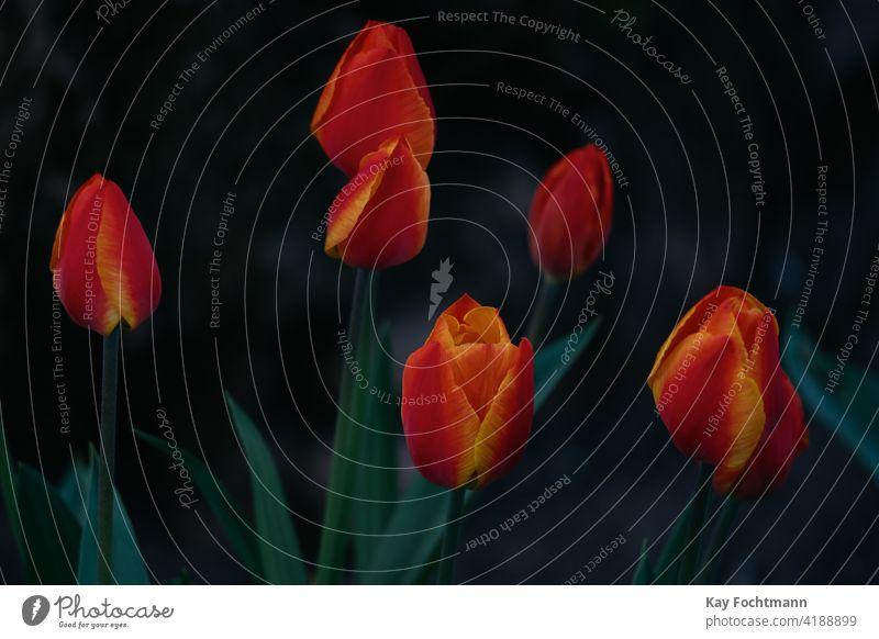 Strauß blühender Tulpen schön Blütezeit Überstrahlung botanisch Blumenstrauß farbenfroh Tag Dekor Dekoration & Verzierung Bauernhof Feld Flora geblümt Garten