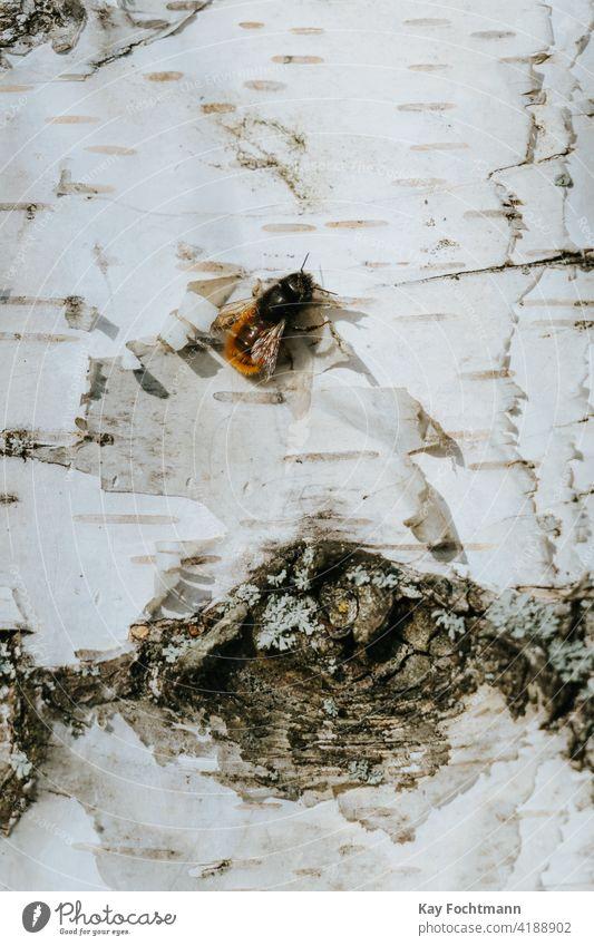 einzelne Wildbiene auf Birke ruhend Apoidea Ackerbau Tier Biene Nahaufnahme Kolonie gefährdet Garten Insekt Makro Natur aussruhen Baum Arbeiter Arbeitsbiene