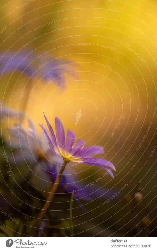 Makroaufnahme von lila Balkan-Windröschen im Gegenlicht Anemone blanda Frühling Strahlen Anemone Natur natürlich Nahaufnahme gegenlicht balkan-windröschen