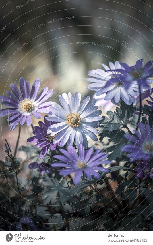 Makroaufnahme von lila Balkan-Windröschen Anemone blanda Frühling Strahlen Anemone Natur natürlich Nahaufnahme balkan-windröschen Pflanze Botanik Pflanzen