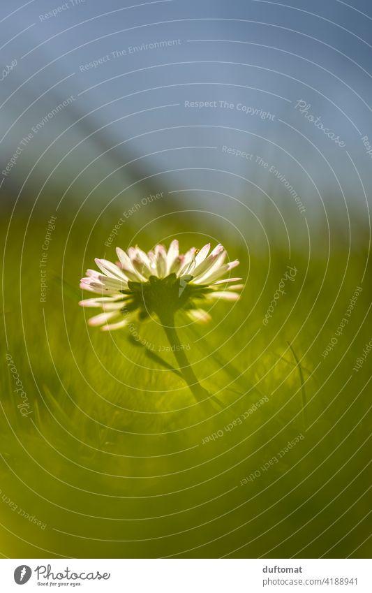 Makroaufnahme eines Gänseblümchens im Gras Frühling Natur natürlich Nahaufnahme Pflanze Blätter Gänseblümchenblüten Pflanzen Detailaufnahme Jahreszeiten Blüte