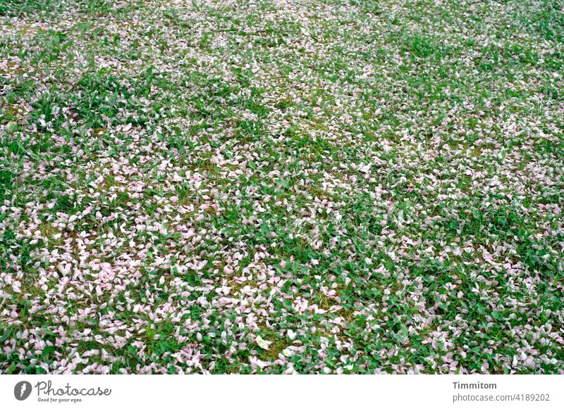 Hier ruhen ganz viele Blütenblätter Wiese rosa grün blühen verblüht Frühling Natur