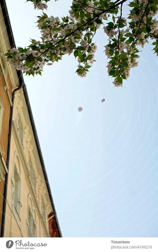 Zwei Blütenblätter auf dem Weg nach unten Zweige blühen Frühling Himmel blau Häuser Häuserzeile erblühen romantisch