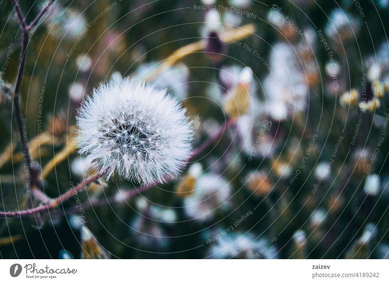 senecio Blume in der Natur im Freien Senecio vernalis Pflanze Hintergrund schön Frühling Nahaufnahme Flora Garten natürlich Sommer Blütezeit Wildblume geblümt