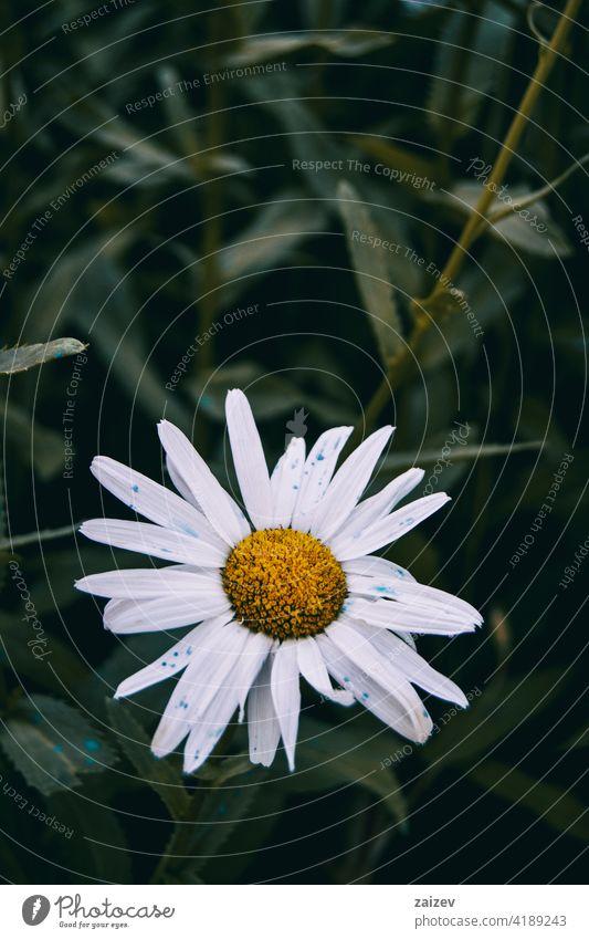 Leukantheme Blume in der Natur im Freien leucanthemum Schönheit geblümt grün Blatt Farbe Detailaufnahme Feld Makro Wildblume gelb 1 hell Dekoration & Verzierung