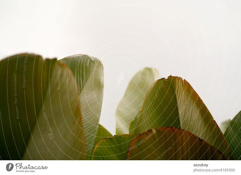 Bananenblatt Hintergrund Blatt abstrakt Natur Pflanze Baum grün Garten Sommer tropisch Design Muster Wald Wachstum Laubwerk Schönheit Farbe Textur schön Botanik