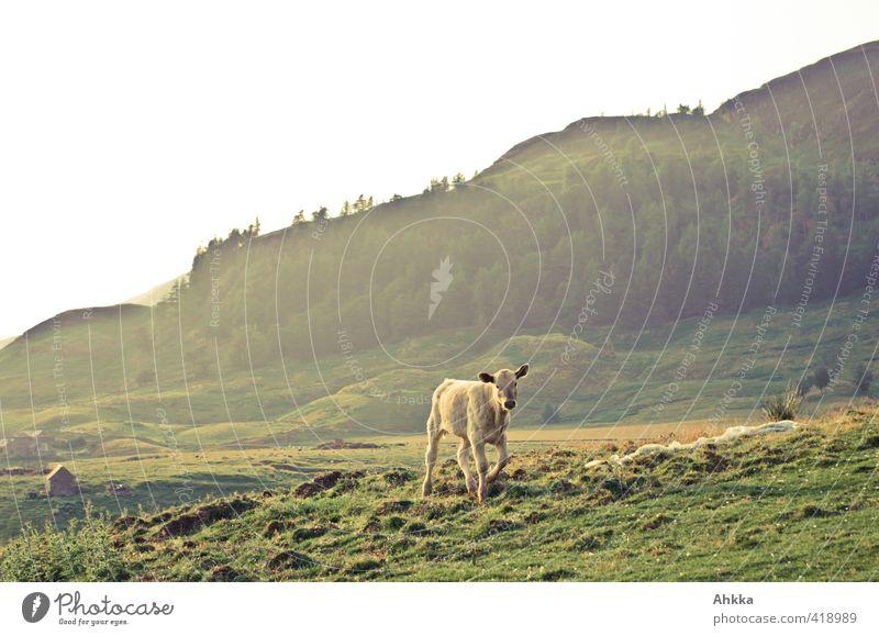 Junges Kalb in goldenem Abendlicht in Schottland Natur schön Sommer Einsamkeit Landschaft Tier Berge u. Gebirge Tierjunges Leben Senior Spielen Freiheit Glück