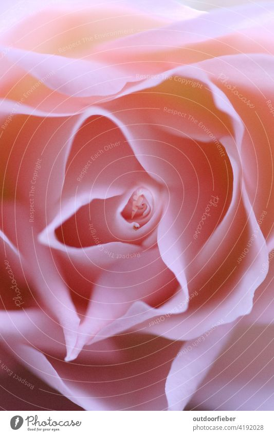 zarter rosafarbener Rosentraum Rosa blume blüte makro verträumt Pflanze schön Nahaufnahme Natur Farbfoto Blüte Blume Blühend Makroaufnahme Frühling Garten