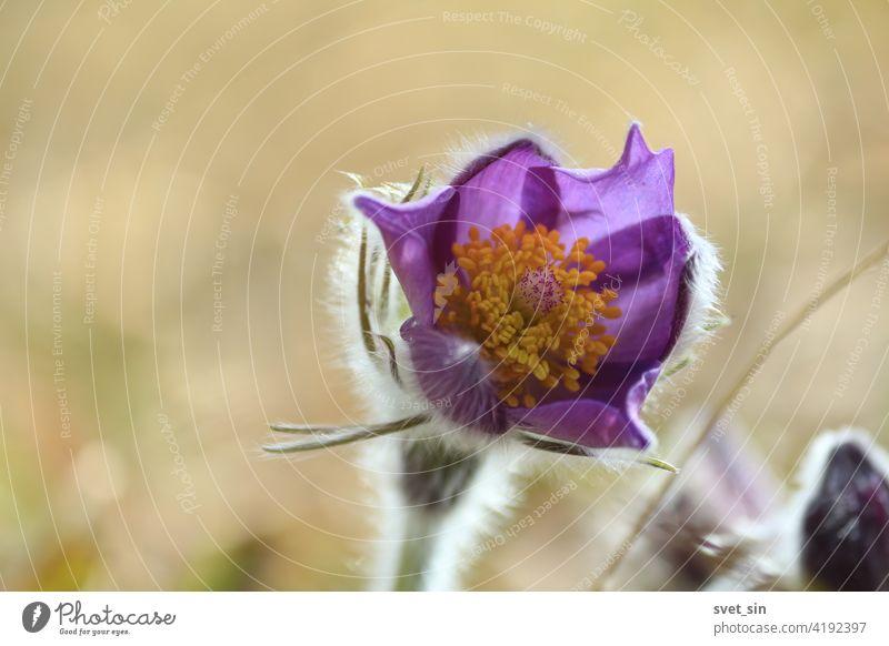 Pulsatilla patens Blütenkopf mit violetten Blütenblättern und orangefarbener Mitte im Freien in Nahaufnahme. Pulsatilla patens, Finger-Kuhschelle, Fingerküchenschelle, Stern-Kuhschelle, Sternküchenschelle.