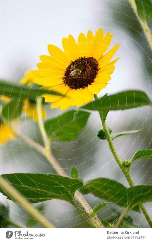 Biene auf gelber Sonnenblume Helianthus Blume geblümt wild Wildblume Natur natürlich Garten grün Flora Textfreiraum Insekt Gartenarbeit Pflanze Blütenblatt