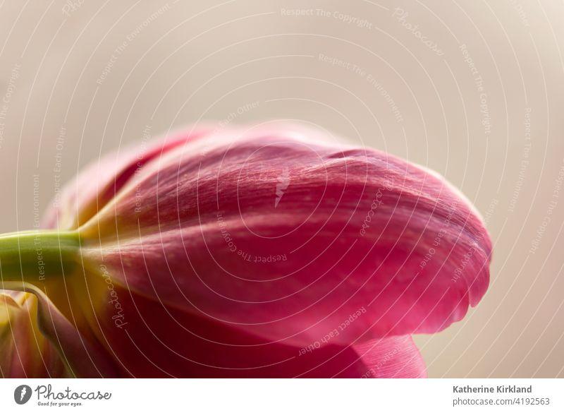Tulpenblütenblatt Makro rosa braun Stillleben Nahaufnahme Natur Frühling Ostern natürlich Pflanze geblümt Blume Flora Blumenhändler rot Textfreiraum kräuseln