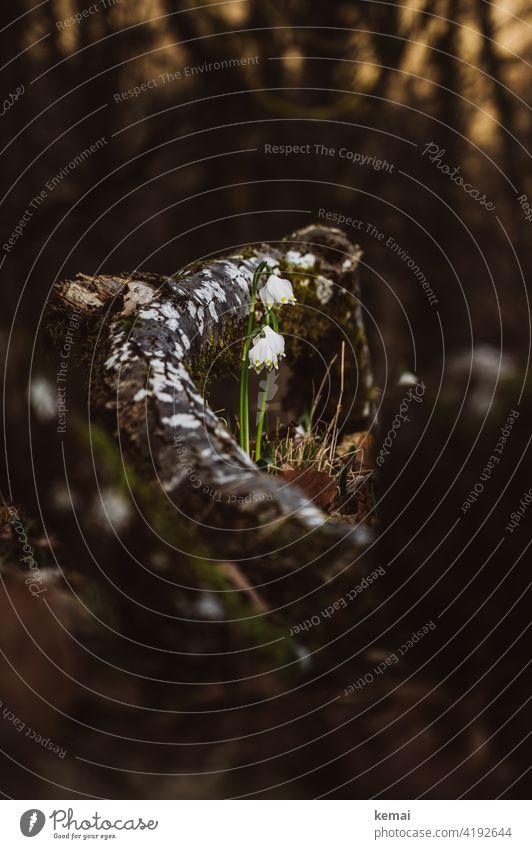 Märzenbecher im Wald Waldboden weiß grün Ast wachsen blühen Frühling braun frisch Natur schön Pflanze Blume Schwache Tiefenschärfe natürlich Blühend