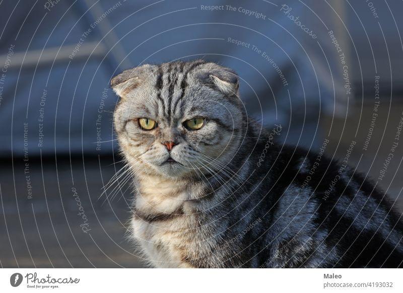 Porträt einer schönen reinrassigen Hauskatze. Britisch Kurzhaar Kätzchen bezaubernd wütend Tier Hintergrund Schönheit schwarz züchten Briten Fleischfresser