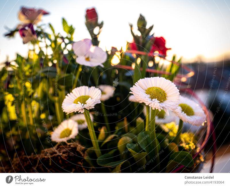 Gänseblümchen auf dem Balkon im Abendlicht. Sonnenuntergang Sonnenlicht Außenaufnahme Farbfoto Pflanze Blume Tag Nahaufnahme Sommer Natur Blüte grün Wiese